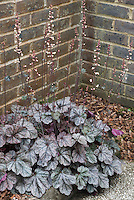 Heuchera Silver Scrolls in bloom next to brick garden wall corner in dry shade