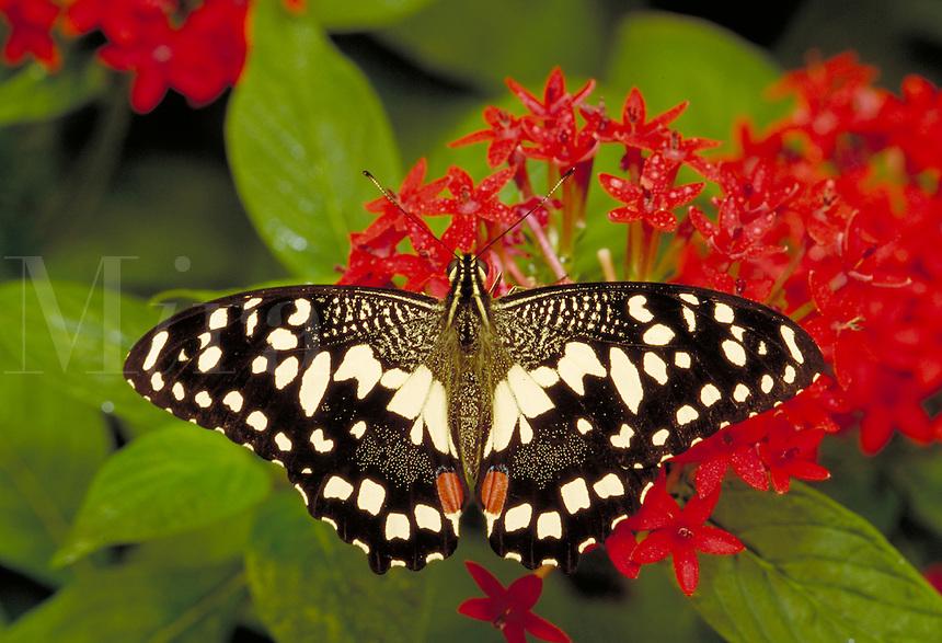 "PAPILIO DEMOLEUS, """"Checkerspot Swallowtail Butterfly"""", Subfamily - Papilioninae; Family - Papilionidae; Order - Lepidoptera; Class - Insecta. Resting & feeding on red Pentas lancelata. NEW ORLEANS LA USA AUDUBON ZOO."