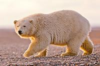 polar bear, Ursus maritimus, cub, Barter Island, Arctic National Wildlife Refuge, Alaska, polar bear, Ursus maritimus