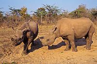 Immature Black Rhinoceroses (Diceros bicornis) at dust bathing spot.