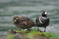 Harlequin Duck pair (Histrionicus histrionicus) on mountain stream.  Western U.S.  Spring.