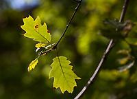 Oak leaf backlit Quercus; Southern California Montane Botanic Garden