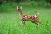 White-tailed Deer (Odocoileus virginianus), fawn, New Braunfels, San Antonio, Hill Country, Central Texas, USA