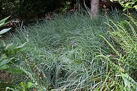 Blue Sedge, Carex flacca (aka C. glauca) 'Blue Zinger' groundcover in garden