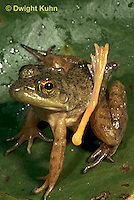 FR23-004d  Bullfrog - deformed frog with extra leg - Lithobates catesbeiana, formerly Rana catesbeiana