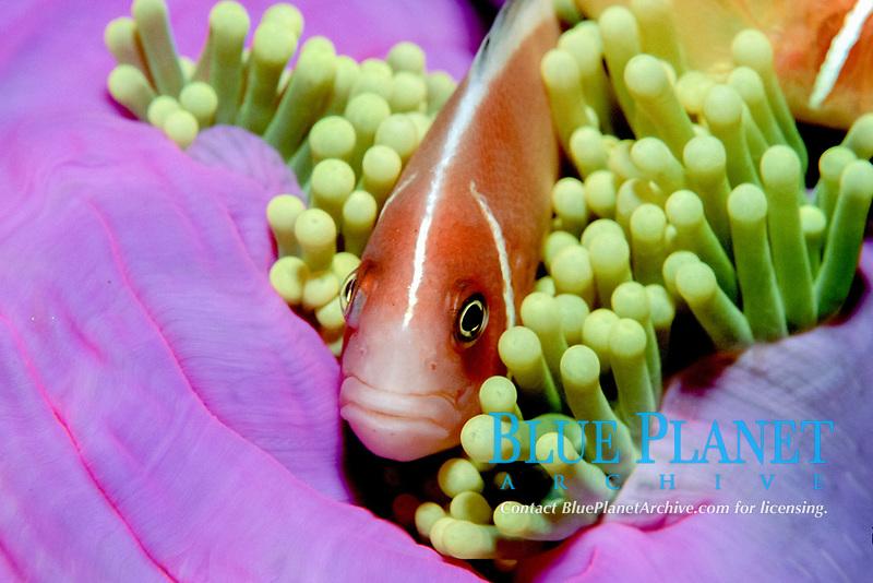 Tulamben, Bali: Anemone fish in gren sea anemone, pink skunk clownfish, Amphiprion perideraion, Bali, Indonesia