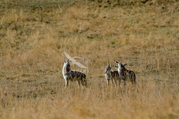 Coyotes (Canis latrans) barking and howling.  Western U.S., fall.