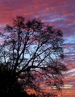 Oak tree at sunrise near Blue Lake in Multnomah County, Oregon