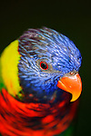 Rainbow Lorikeet