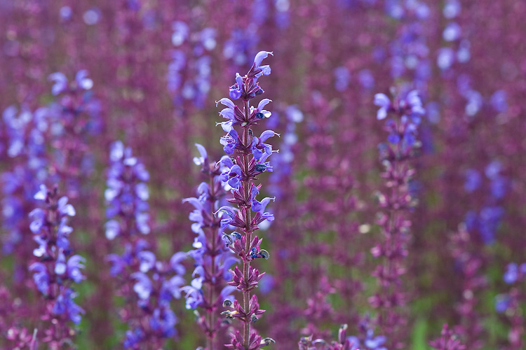 Salvia x superba 'Dear Anja', end June.