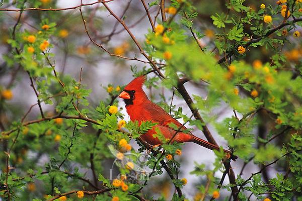 Northern cardinal (Cardinalis cardinalis), TX, Eastern and Southern U.S.