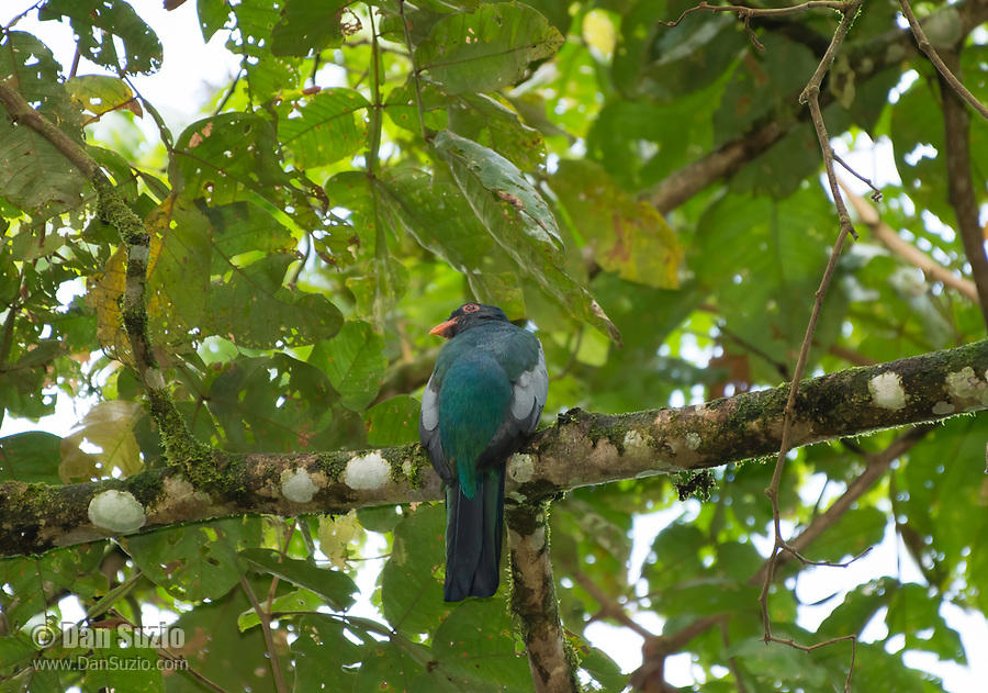 Slaty-tailed Trogon, Trogon massena, perched in a tree at La Selva Biological Station, Costa Rica