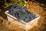 Zinfandel grape harvest at Joe Aparicio's zinfandel grape vineyard on Sutter Ridge in fall..Tub of grapes
