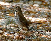 Adult hermit thrush