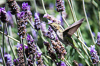 With its wings spread wide, an Anna's hummingbird flies among the lavendar flowers.