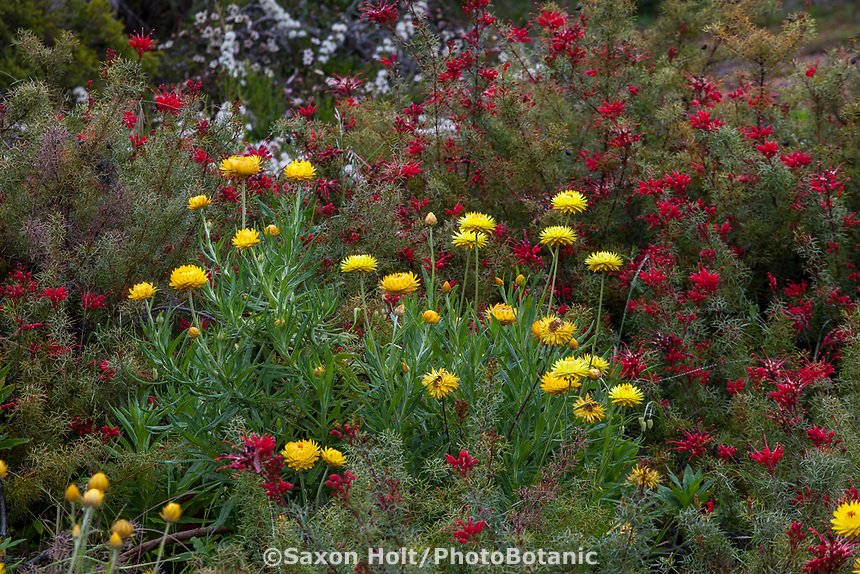 Xerochrysum bracteatum (syn. Helichrysum bracteatum) Everlasting Flower or Strawflower flowering in UC Santa Cruz Arboretum and Botanic Garden