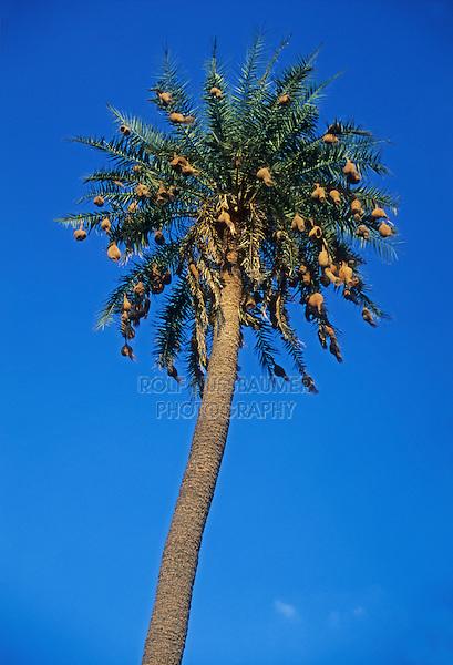 Baya Weaver (Ploceus philippinus), nest in palm tree, Ranthambore national park, India