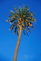 Baya Weaver (Ploceus philippinus), nest in palm tree, Ranthambore national park, India