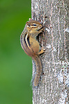 Eastern Chipmunk in northern Wisconsin.