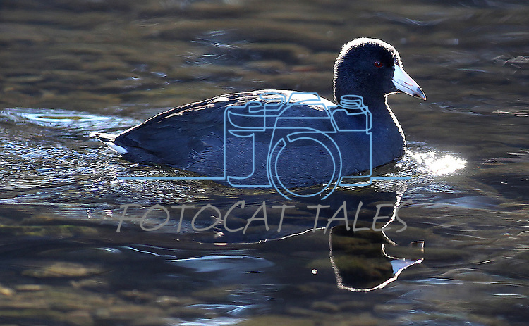 An American coot swims in Taylor Creek on Nov. 25, 2012 near South Lake Tahoe, Ca. .Photo by Cathleen Allison