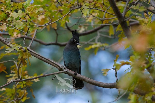 Steller's jay (Cyanocitta stelleri) perched in oak tree.  Western U.S., Fall.