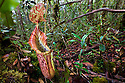 Pitcher Plant natural hybrid {Nepenthes veitchii x stenophylla} growing in montane mossy heath forest or 'Kerangas' on the southern plateau of the Maliau Basin, Sabah, Borneo, Malaysia. Pitcher plants are carniverous, trapping invertebrate prey in their liquid-filled pitfall traps.