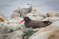 Blackish Oystercatcher nesting on West Island, the Falkland Islands