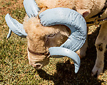 July 31, 2017. Chapel Hill, North Carolina.<br /> <br /> Rameses the Ram in the yard outside the barn in which he lives. <br /> <br /> The Hogan family have long been the caretakers of Rameses the Ram. The current Rameses is the 21st in the line of the University of North Carolina's live mascot.