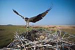 An osprey lands on its nest near Tylerton, on Smith Island, MD.