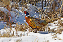 00890-035.02 Ring-necked Pheasant rooster is on the edge of heavy cover during winter.  Hunt, male, color, snow, survive.  H6L1