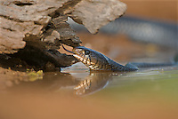 438950029 a wild texas indigo snake drymarchon corais erebennus a threatened species explores a small pond hunting for frogs in the rio grande valley of south texas