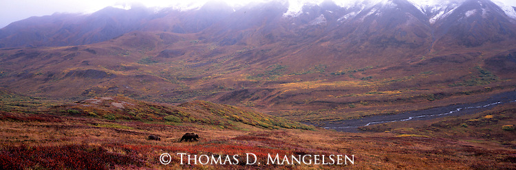 Grizzly Bears on a mountainside in Denali National Park, Alaska.