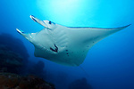 Valerina, a regularly seen resident Manta Ray in Yap, Manta birostris, Goofnuw Channel, Valley of the Rays, Yap, Micronesia, Pacific Ocean