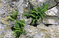 Brauner Streifenfarn, Braunstieliger Streifenfarn, Asplenium trichomanes, Maidenhair Spleenwort