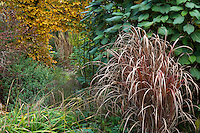 Ornamental grass (Miscanthus) in fall color in front of border with foliage of Hydrangea aspera and Hornbeam hedge in Gary Ratway garden