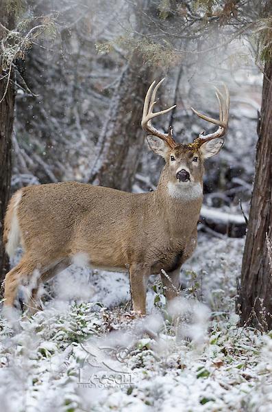 White-tailed Deer buck (Odocoileus virginianus) in snow, Western U.S., Late Fall.