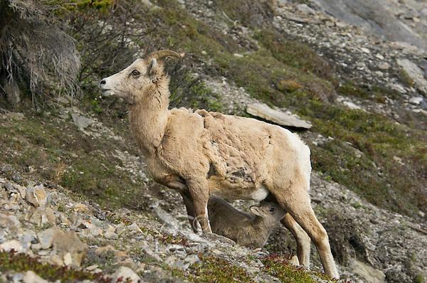 Bighorn Sheep or Mountain Sheep (Ovis canadensis) ewe nursing young lamb.  Northern Rockies.  June.