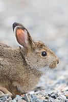 Close up of snowshoe hare in summer coat in Denali National Park, Alaska