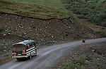A bus of tourists follows a brown bear down the road in Denali National Park, Alaska