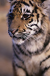 Tiger cub at the West Coast Game Park Oregon State USA
