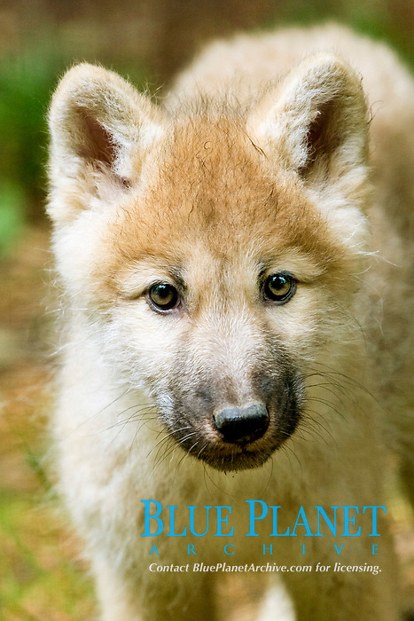Alaskan tundra wolf, or barren-ground wolf, Canis lupus tundrarum, a subspecies of gray wolf, or grey wolf, Canis lupus, pup, Alaska, USA, North America