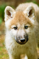 Alaskan tundra wolf, or barren-ground wolf, Canis lupus tundrarum, pup, Alaska, USA, North America