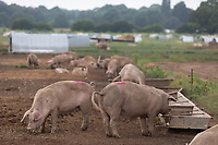 12-7-2021 Free-range pigs in Norfolk <br /> ©Tim Scrivener Photographer 07850 303986<br />      ....Covering Agriculture In The UK....