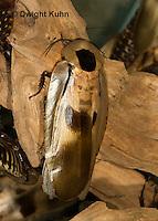 OR13-506z  Giant Cave Cockroach, Blaberus giganteus