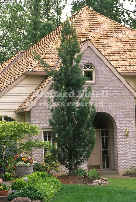 10499-CH Columnar White Pine, Pinus strobus `Fastigiata', growth habit by house, at Lake Oswego, Oregon