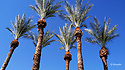 Palm trees with blue sky in Phoenix Arizona
