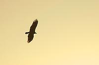 Turkey vulture, Cathartes aura, at sunset.  Saguaro National Park, Arizona