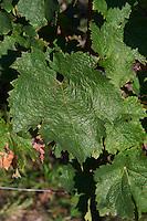 Vine leaf. Cabernet franc. Domaine des Roches Neuves, Saumur Champigny, Loire, France