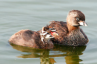 Pied-billed grebes, adult and chick