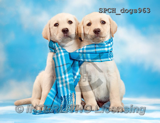 Xavier, ANIMALS, REALISTISCHE TIERE, ANIMALES REALISTICOS, dogs, photos+++++,SPCHDOGS963,#A#